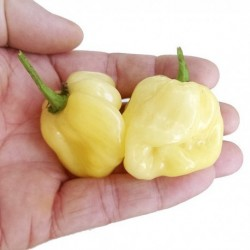 Dried Habanero White Giant