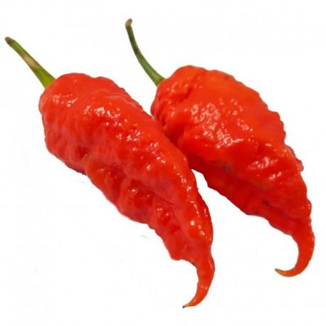 Jais Ghost Scorpion Red seeds