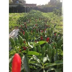 Calabrian pepper Seeds