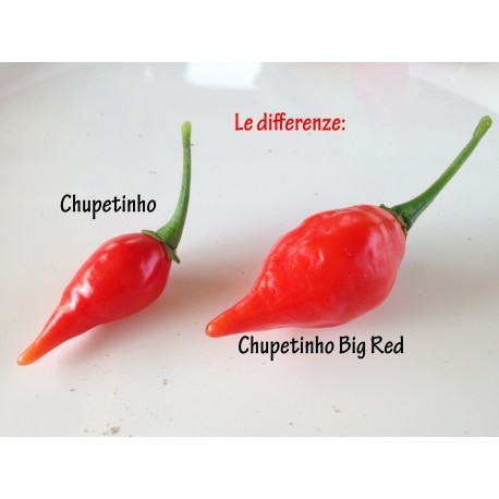 Chupetinho Big Red seeds