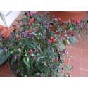 Adorno seeds