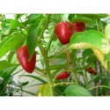Dog Nose Chilli seeds