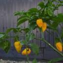 Big yellow mama seeds