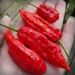 Drax Red Head seeds