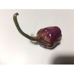 Bubblegum purple seeds
