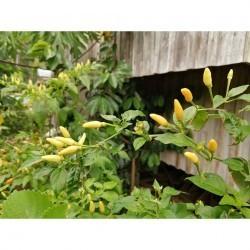 Cojote zan yellow seeds