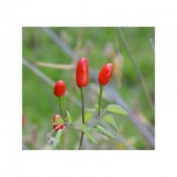 Pequin seeds