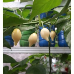 Chupetinho White Seeds