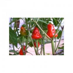 Macarena Seeds