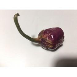 Bubblegum purple séché