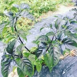 Nice plant séché