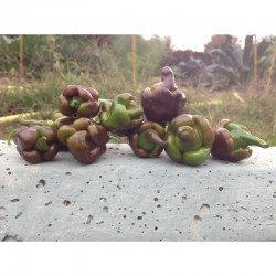 Rimmerhus Fun Strain Seeds